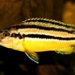 286_melanochromis_auratus