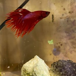CrownTail Mix-Male