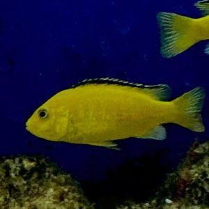 Labidochromis Caerulues Golden