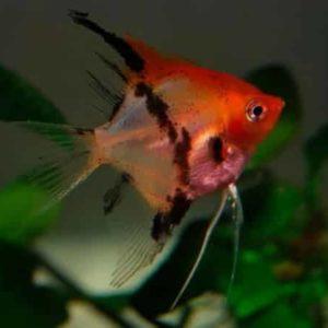 Pterophyllum scalare / red devil