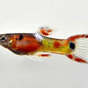 Poecilia endler / red rainbow