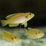 Lamprologus' ocellatus gold