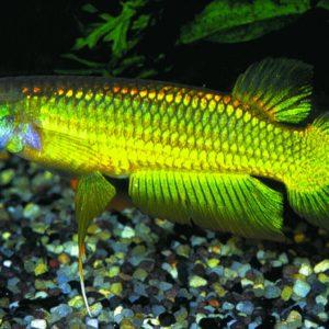 Aphyosemion aplocheilus lineatus gold