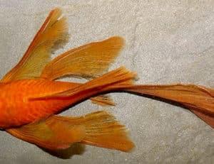Ancistrus sp super red long fin